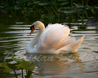 Mute Swan: The Guard  (MS 100)