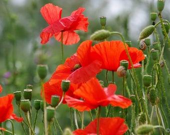 Red Field Poppy 10 g 100 000 Organic Handpicked Seeds 2017 Papaver rhoeas Flanders Poppy Seeds Wildflower Organic NonGMO