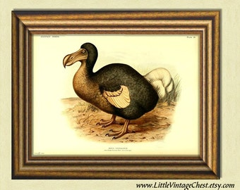 BROWN DODO BIRD - Extinct Birds - Antique Ornithological Art Prints - Victorian Art