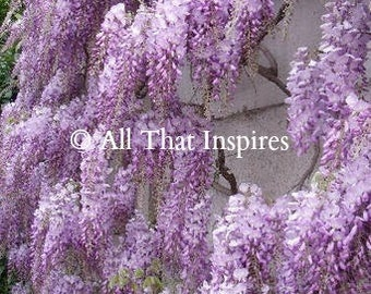 Wisteria Sinensis Seeds - Chinese Wisteria Seeds - Exotic Seeds - Bonsai Seeds