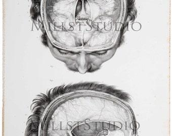 Lamina anatómica. Dura-mére encéphalique. Duramadre encefálica. Reproducción  del dibujo del tratado Anatomía del Hombre.