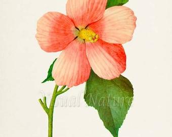 Rose Mallow Flower Art Print, Botanical Art Print, Flower Wall Art, Flower Print, Pink Flower Art Print, Home Decor, Hibiscus