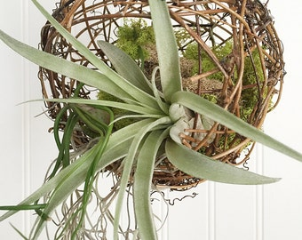 Tillandsia Hanging Vine Ball by Zentilly©