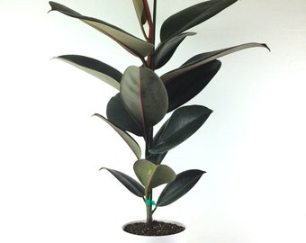"""Rubber Tree Burgundy 28-36"""" Tall (Ficus elastica) Air Purifying Plant  - Perfect Hostess Gift, Stocking Stuffer, Gift for Her, Housewarming"""