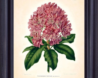 WITTE Art Print 8x10 Pink Magenta Large Pontic Rhododendron Flower Vintage 8x10 Botanical Art Print  Plate Home Decor Wall Hanging BF0814