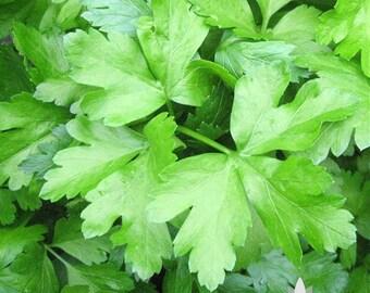 Dark Green Italian Parsley Herb Heirloom Seeds - Non-GMO, Open Pollinated, Untreated