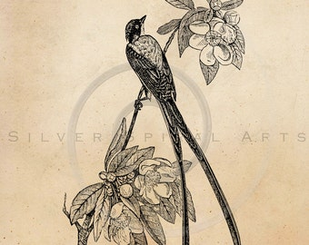 Vintage Fly Catcher Bird Illustration Printable Birds 1800s Antique Print Instant Download Image Clip Art Retro Black and White Drawing
