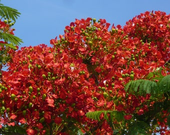 how to grow royal poinciana tree from seed
