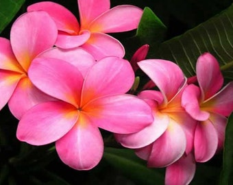 FRESH 10 Seeds Plumeria (Frangipani) Pink Flowers