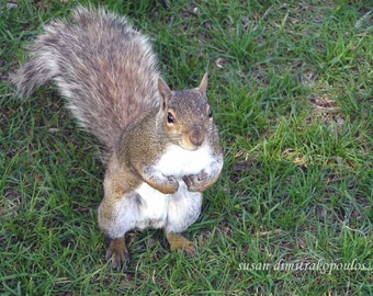 Squirrel card, Curious Squirrel, blank greeting card, write your own message, grey squirrel, nature photograph