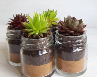 Sempervivum / Succulent Glass Jar Favours (Set of 4 Small  with Sand Layer) - Gifts, Wedding Favours, Baby Shower Favours