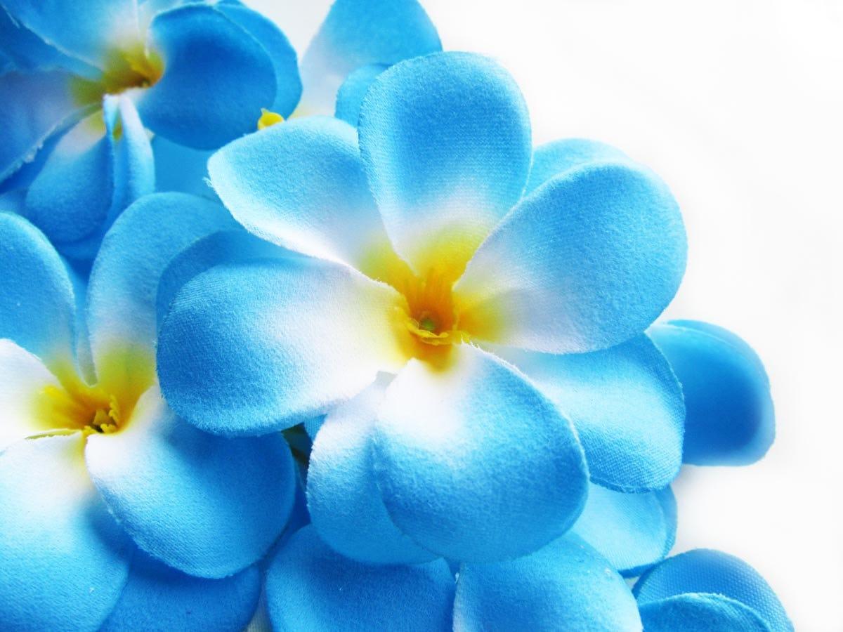 12 blue plumeria frangipani heads artificial silk flower 3 zoom mightylinksfo