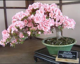 20PCS Cherry Bonsai Bonsai Tree Japanese New Blossoms Sakura seeds Flower Seeds