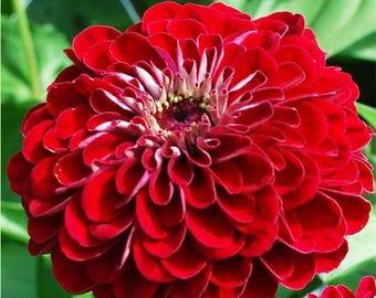 AZB)~BENARY'S GIANT Deep Red Zinnia~Seeds!!!!~~~~~~~~Stunning True Red Color!!!
