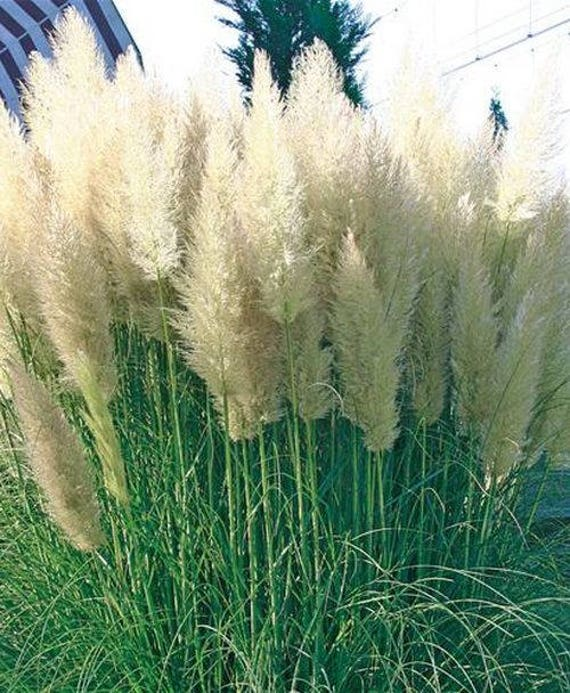 White pampas grass seeds pink pampas grass seeds for Fast growing ornamental grass