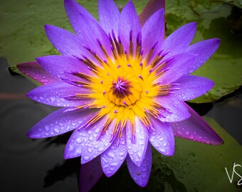 Purple flower in a lilly pond after a rain shower