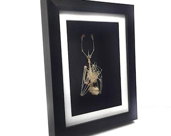 REAL Bat Skeleton Hanging Framed (Wings Closed) UK - Teeth, Skull, Human-Like, Bones Taxidermy