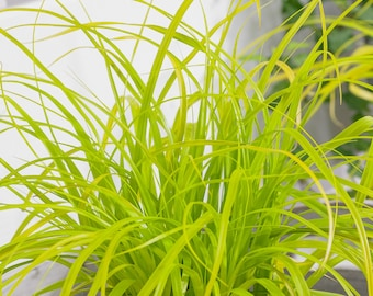 Carex oshimensis 'Everillo' Evercolor Sedge