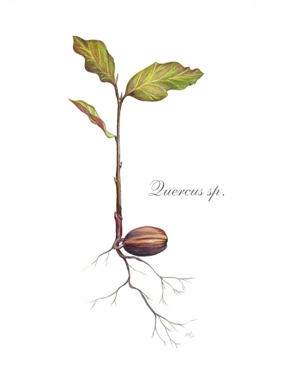 Oak seedling illustration digital
