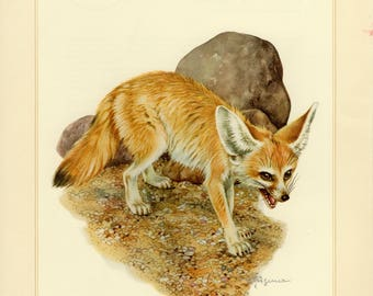 Vintage lithograph of the fennec fox from 1956