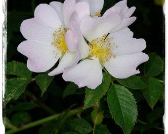 Rosa canina 'Dog Rose' [Ex. Co. Durham, ENGLAND] 35+ SEEDS