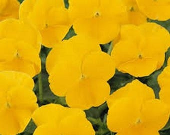 Pansy- Gold- 50 Seeds