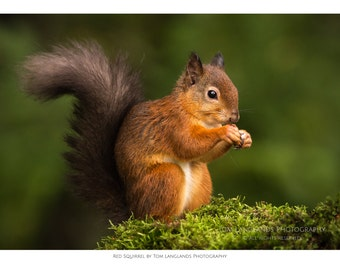 Red Squirrel - on Moss