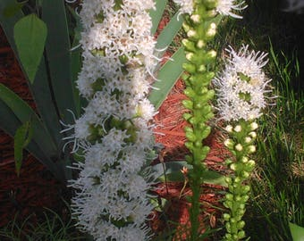 Floristan White Blazing Star Liatris  Seeds