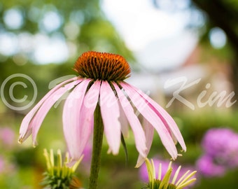 Purple Coneflower, Flower, Echinacea, Garden, Plant, Farm, Native Plant, Prairie Plant, Wall Decor, Fine Art,Photo, Photography, Nature