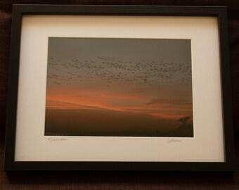 Framed Print: Murmuration