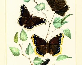 1960 Nymphalis antiopa. Butterfly Illustration. Spiny elm caterpillar. Insect. Entomology. Natural History.