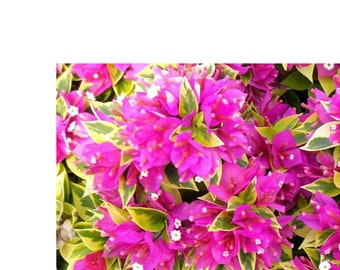 """Two Pink pixie Bougainvillea 4""""to 5"""" inches tall 3.5 inch pot Shipped in the same pot"""
