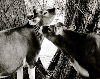 Cow  Photograph - Young Cows - Nature Art - Animal Art  - Love - Farm Animal - Cattle - Black and White - Animal Photograph