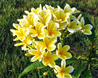 Beautiful Plant Plumeria Frangipani Yellow Flowers Seedling, A Perfect Gift For Her