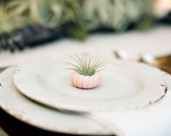 25 Wedding Favors - Mini Sea Urchin Air Plants