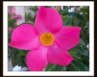 Flower Photography, Fine Art Print, Nature Photo, Wall Decor, Pink Mandovila Flower, Photography