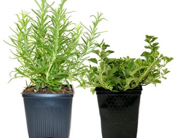 Herb Collection Rosemary and Oregano Grown Organic Herb Plants Contains 2 Live Plants Potted - Great Gift for Gardeners Non-GMO