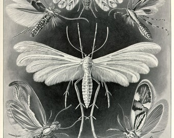 Haeckel Moth Scientific Illustration, Scientific Illustration,  Moth Illustration, Moth Scientific Illustration, Illustration Scientific