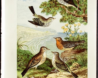 1874 Various Pipit Birds: Red-Throated, Tree, Richard's, Meadow, Rock Pipit. Antique Bird Print. Lithograph by Adams. Original Vintage Print