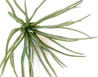 Faux air plant, large air plant,  Tillandsia tenufolia, blue air plant, air plants for sale, succulent arrangement, home decor