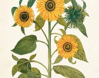 Antique Sunflower Print Set No. 6, Botanical Print, Botanical, Wall Art, Sunflower Print, Vintage Botanical, Besler, Giclee, Yellow Flower