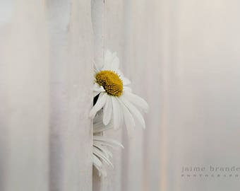 Photography print: white daisy through fence, white picket fence, flower, fine art print
