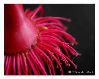 Australian Pink Flowering Gum Photo Print, Macro Nature Photography, Flower Close up, Monochromatic, 8x10, Still Life