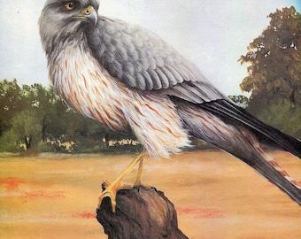 "Montagu's Harrier   ""Buy one, choose another free""harrier, wildlife, animal prints, bird prints, wildlife prints, animals, birds"