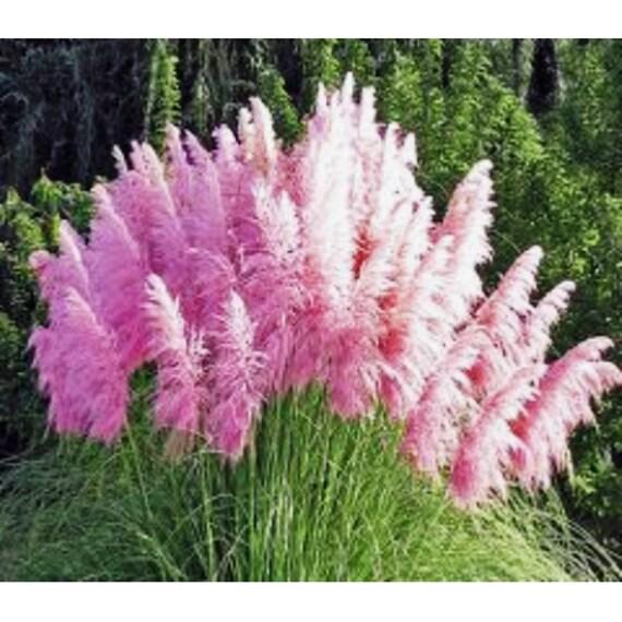 Ornamental Grasses Zone 7 Pink pampas grass cortaderia selloana fast growing workwithnaturefo