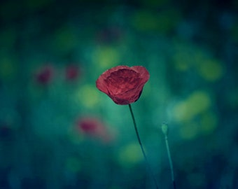 Red Poppy Flower Photograph, Green Field, Nature Photography, Wall Art Print, Flower Photography, Teal