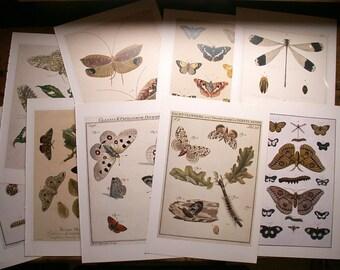 Vintage Botanical Print - Caterpillar, Butterfly and Oak Leaf