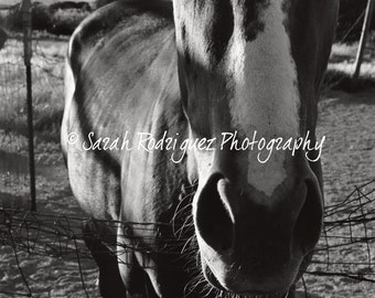Horse - Black and White Photograph - 5x7 print