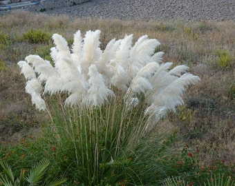Ornamental Grasses Zone 7 White pampas grass etsy white pampas grass seed cortaderia selloana tall tough and beautiful fast workwithnaturefo