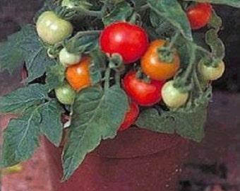 25 micro Tom semillas mundos más pequeño de tomate de tomate